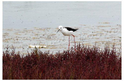Une échasse blanche pêche près des salicornes