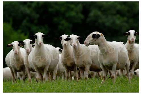 Moutons de race caussenarde © Danièle Boone