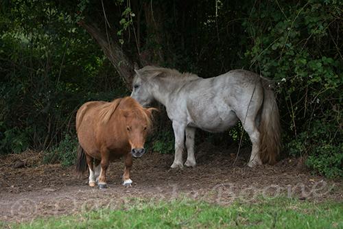 Ferme maraîchère du Bec Hellouin - poneys