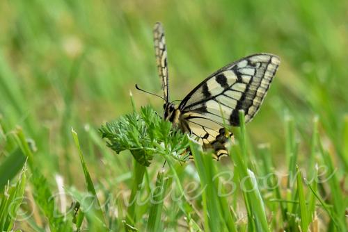 papillon citron femelle