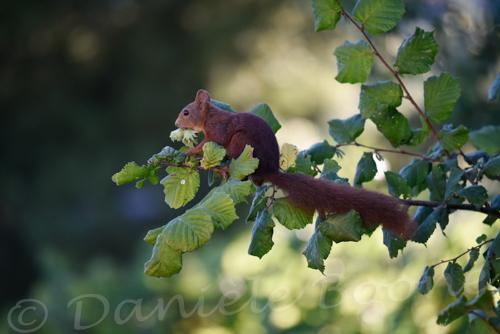 Ecureuil chapardant des noisettes