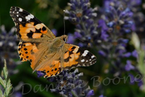 Belle-dame, papillon migrateur