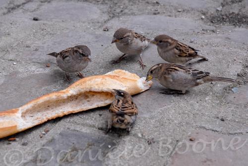 Moineaux mangeant du pain