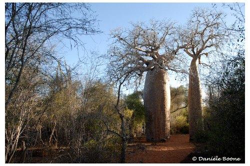 Forêt sèche avec baobabs