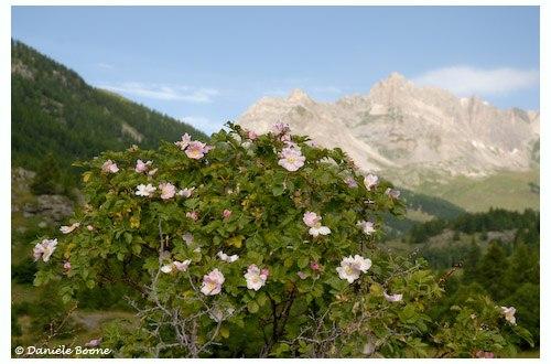 Roses des Alpes