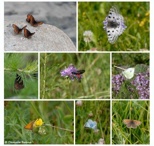 Papillons dans les prairies d'alpage