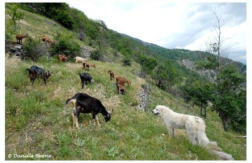 Patou et chèvres