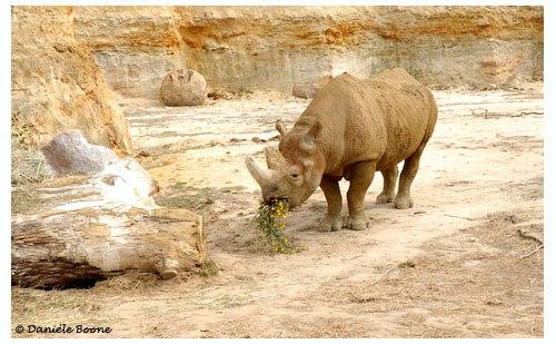 Kata-Kata, rhinocéros noir