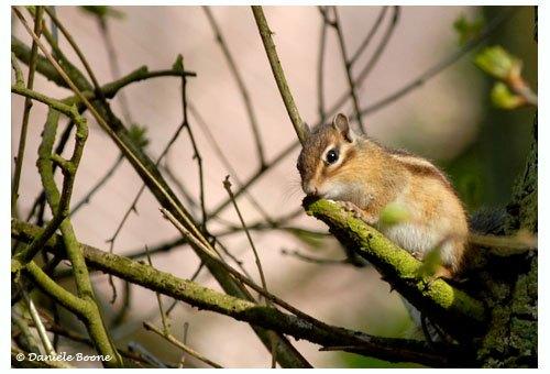 Ecureuil de Corée ou Tamia