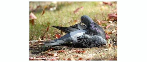 Pigeon bisé
