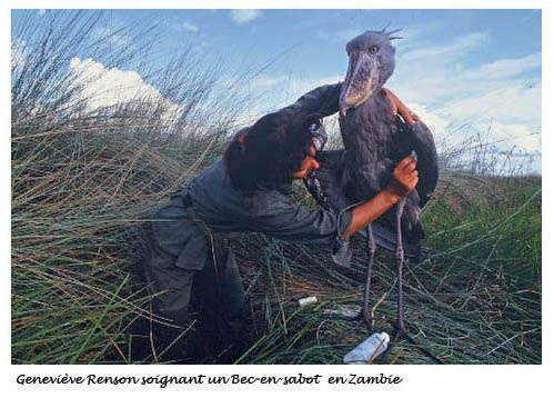 Geneviève Renson soignant un Bec-en-Sabot