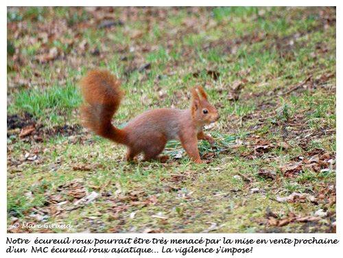 Ecureuil roux © Marc Giraud