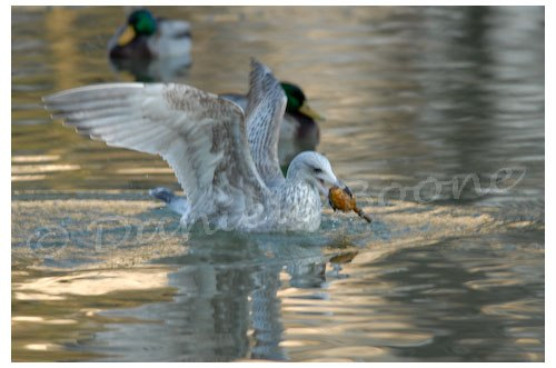 Goéland plumage juvénile - Parc Montsouris
