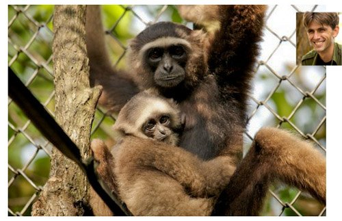 Une mère Gibbon et son petit au centre Kalaweit créé par Aurélien Brulé dit Chanee © Nick Lyon