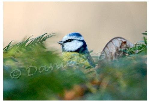 Mésange bleue au jardin des plantes