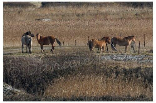 Chevaux dans le marais d'Ault