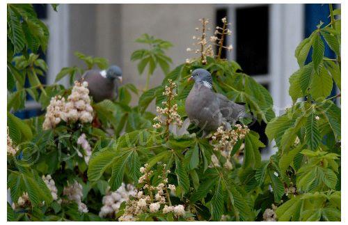 Pigeons ramiers dans marronnier