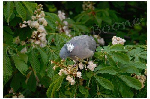 Pigeon ramier dans marronier
