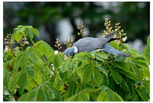 Pigeon ramier dans marronnier
