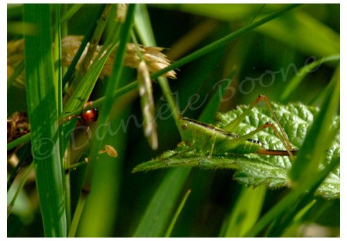 Par effet mimétique, cette sauterelle passe inaperçue dans les herbes