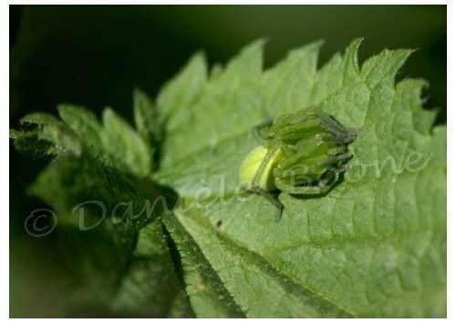 Araignée concombre sur feuille d'ortie