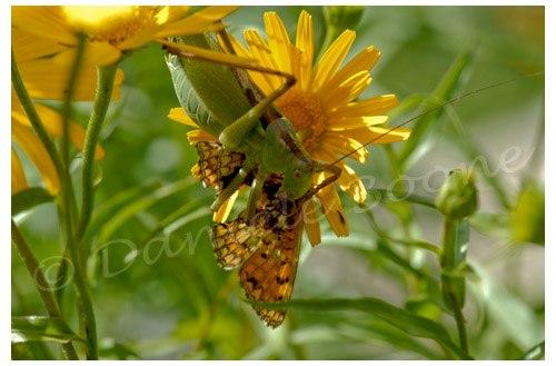 Une sauterelle verte se régale d'un papillon
