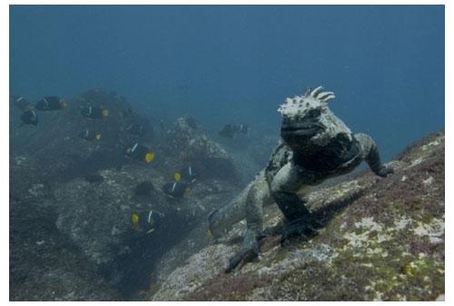 Iguane marin © Pascal Kobeh