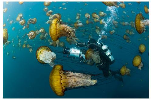 Méduses dorées © Richard Herrmann
