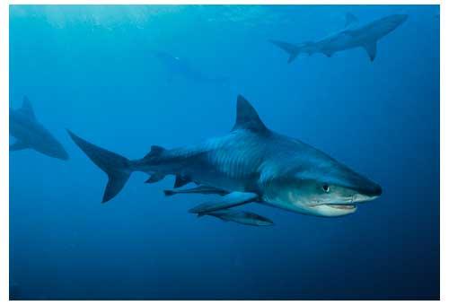 Requin-Tigre - Afrique du Sud © Roberto Rinaldi