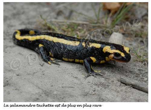 Salamandre tachetée © Danièle Boone