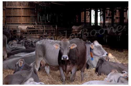 Les 60 vaches de la Pierre qui vire restent à l'étable durant la mauvaise saison © Danièle Boone