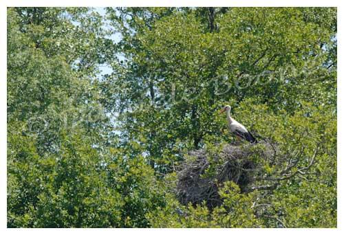 Cigogne blanche © Danièle Boone