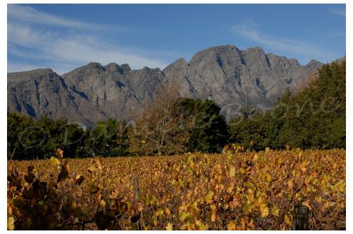 Les vignes de Franschhoeck © Danièle Boone