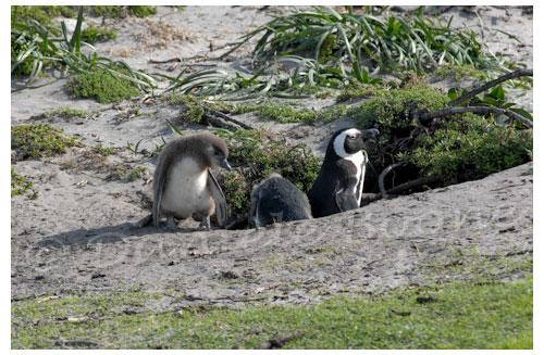 Manchots du Cap - Stony Point © Danièle Boone