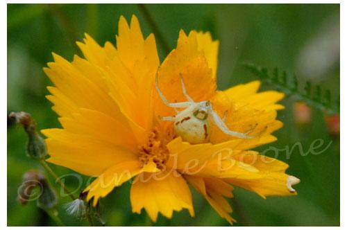 Araignée crabe © Danièle Boone