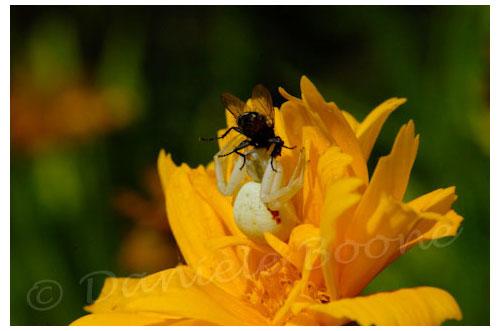 Araignée crabe venant d'attraper une mouche © Danièle Boone