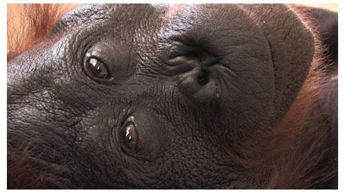 Green est une femelle Orang-Outan d'Indonésie
