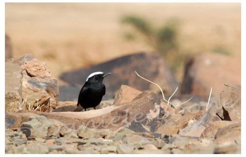 Moula-Moula (traquet du désert) © Danièle Boone