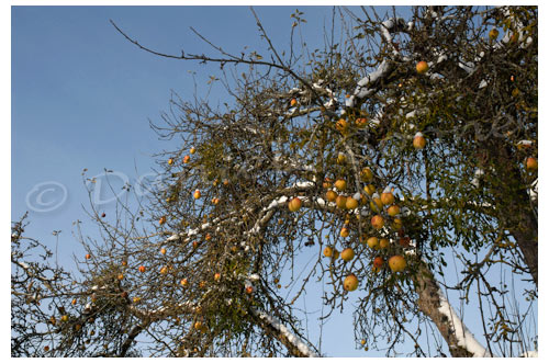 Pommes © Danièle Boone