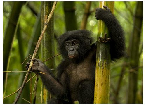 Bonobos, extrait du film d'Alain Tixier