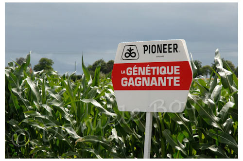 Essai de maïs PR38N86 (Pioneer) © Danièle Boone