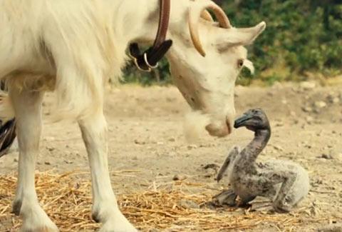La chèvre découvre le bébé pélican