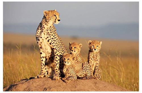 Sita, la femelle guépard élève seule ses petits © The Walt Disney Company France