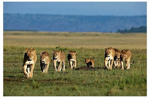 Le clan des lionnes © The Walt Disney Company France