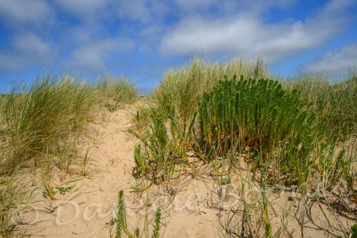 Euphorbe du littoral (Euphorbia paralias L.)