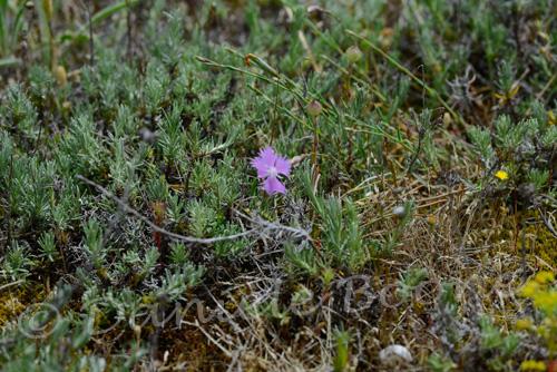 Œillet de France ou Œillet des dunes (Dianthus hyssopifolius subsp. gallicus)