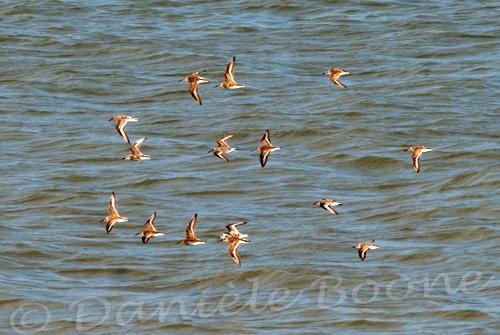 Vol d'oiseaux de mer