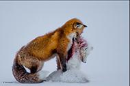 Renard roux dévorant un renard polaire © Don Gutoski