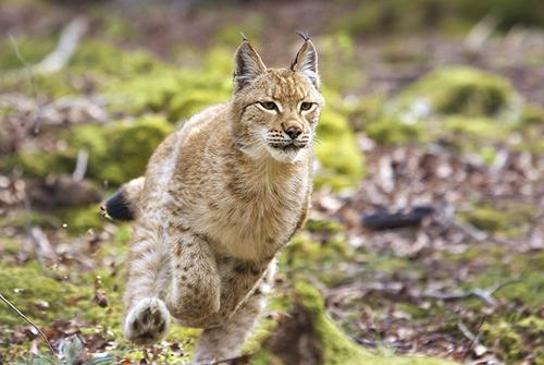 Lynx courant