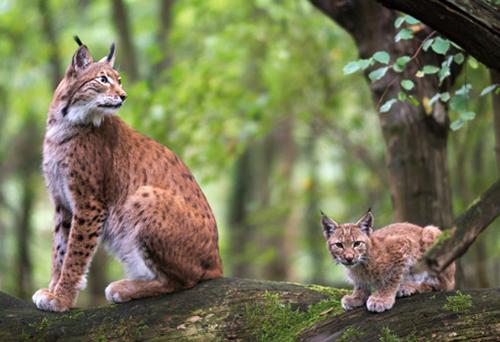Lynx et son petit